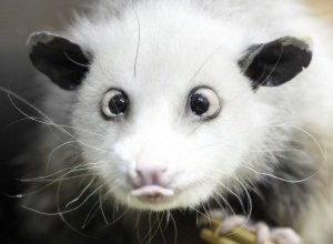 HUMOR,cross-eyed opossum,Predict the Oscar Winners,Heidi, the cross-eyed opossum,oscars winners,predict the oscars winners,Heidi, the cross-eyed opossum predicts future,